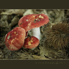 Russula lepida (Colombina rossa dolce) (in eva vae) Tags: autumn red italy brown macro fall texture nature leaves closeup foglie forest photoshop mushrooms focus eva berries dof famiglia framed liguria dry natura ricci chestnut funghi trio tre autunno rosso squared enchanted textured marrone bosco foresta secco castagne layered 500d sottobosco digitalcameraclub gambi terzetto cappelle canoneos500d 100commentgroup eoskissx3 eosrebelt1i inevavae