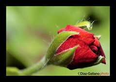 "CAPULLO AL NATURAL (DIAZ-GALIANO) Tags: red flower macro verde green canon rojo ngc flor rosa soe capullo 30d natureplus diazgaliano panoramafotográfico saariysqualitypictures ""flickraward"" greatshotss mygearandme mygearandmepremium mygearandmebronze mygearandmesilver ringexcellence dblringexcellence"