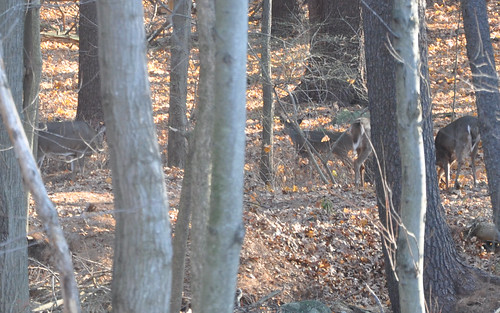 2010-12-11 - DEER IN THE WOODS 013