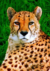 A Portrait of a Cheetah * (A guy called John) Tags: africa park county ireland wild irish colour green animals cat mammal zoo big eyes natural wildlife cork piercing spots cheetah resting colourful cobh irlanda irlande fota carrigtwohill aftican