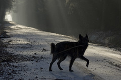 Wilya on a misty morning (serni) Tags: morning dog mist dutch silhouette misty forest frost play shepherd hond stick bos playful twente ochtend haagsebos herdershond hollandse serni wilya