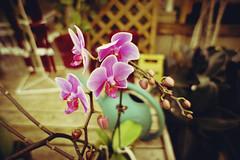 phalaenopsis (@clp) Tags: plant orchid flower green nature beautiful photoshop vintage saturated stem pretty purple vibrant curves nursery phalaenopsis greenhouse saturation stems coloring buds editing bud radiant lightroom fantasticflower