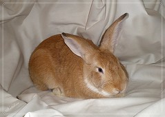 Honey Bunny (~♥~NatSnap~♥~) Tags: pets rabbit animals domestic cafeelite newzealandlop