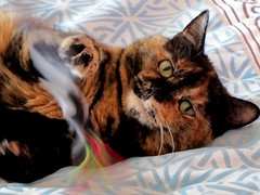 playing (damselfly58) Tags: cat ginger furry feline funny tortoiseshell tortie gingerandwhite gingerwhite impressedbeauty