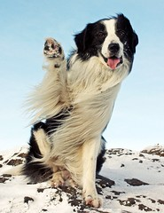 Happy Christmas Everyone!! (meg price) Tags: christmas winter dog snow wave trick bordercollie barney ldlportraits