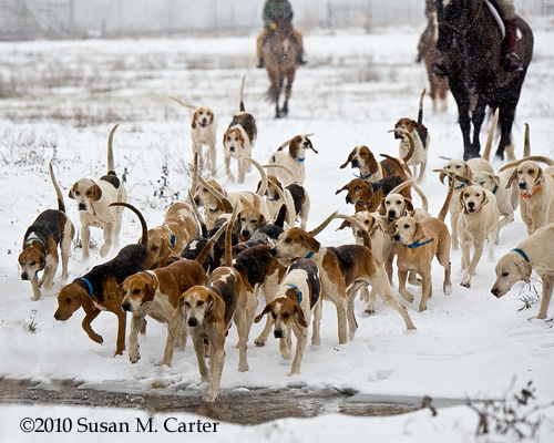 foxhounds in snow. Bull Run Hunt