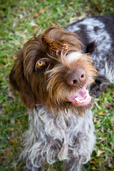 Hina (Neptunecocktail) Tags: dog hair point wire pointer hunting canine retriever wirehaired pointing griff hunt griffon wirehair wirehairedpointinggriffon huntingdog