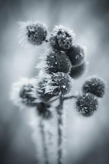 Frozen berries (BambaataaRR) Tags: winter cold macro ice monochrome prime frost pentax takumar 14 tubes croatia extension 50 smc kx justpentax