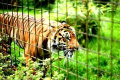 Caged Tiger (pepemczolz) Tags: cute animal cat sad bright wildlife tiger cage chesterzoo minolta50mmf17 sonya350