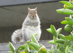 California squirrel (Jee whiz!) Tags: takenthroughawindow wantstobeanactor doesntrealizepaloaltoisnowherenearhollywood