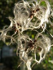 Anglų lietuvių žodynas. Žodis seed reiškia 1. n sėkla, grūdas; 2. v 1) duoti sėklą; 2) (pa)sėti lietuviškai.