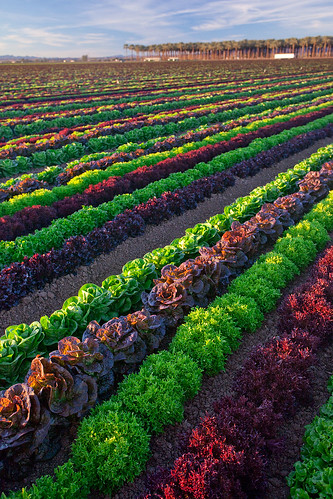 Mixed greens in the field