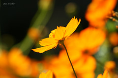 cosmos flower #2 (e.nhan) Tags: life flowers light flower art nature yellow closeup spring colorful colours shadows dof bokeh arts vietnam cosmos backlighting enhan mywinners