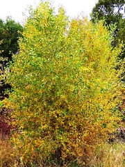 WY-US16nr10sleep10-06 fall change (lauramdellinger) Tags: autumn tree fall nature wyoming falltree autumntree tensleepcanyon