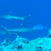 Sharks at Blue Corner, Palau