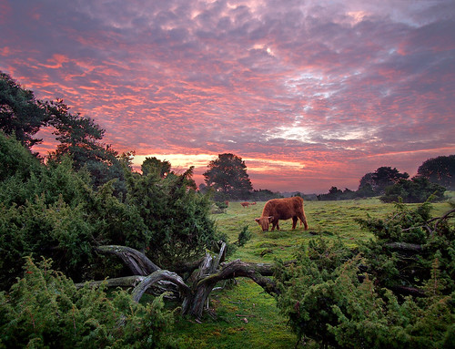 Red Cow, Red Sunrise - Highland Cattle Grazing in a Juniper Groove at Sunrise - Copyright by Martin Liebermann