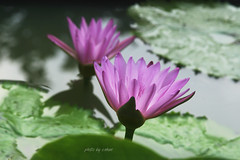 water lily flower in the morning sunshine #3 (e.nhan) Tags: life pink flowers light flower art nature water closeup landscape spring colorful colours shadows dof lily bokeh arts vietnam backlighting enhan mywinners colorphotoaward