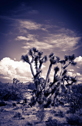 Joshua Trees in Arizona