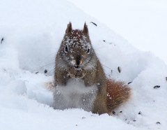 Snowy Squirrel (Libra 42) Tags: red snow ontario canada cute animal canon fur backyard squirrel powershot seeds