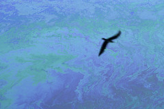 Oil slick with silhouetted bird flying (Jim Corwin's PhotoStream) Tags: bird water animal slick pollution oil environment