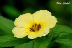 Yellow Flower (Tareq Abuhajjaj   Photography & Design) Tags: moon flower green grass yellow wow design nikon flickr explore    tareq d80 turnera    ulmifolia  tareqdesign abuhajjaj abyuhajaj