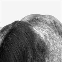 horse_020 (db | photographer) Tags: horse france monochrome square geotagged cheval blackwhite nikon poetry noir dof cs2 noiretblanc bokeh magic damien adobe squareformat format savoie tamron blanc f28 mane champ pdc deepoffield carr photosohop noirblanc croup hautesavoie carre profondeur phaseone adobephotoshopcs2 d80 crinire captureone profondeurdechamp 1750mm tamron1750mm criniere tamron1750mmf28 xrdi bokehlicious nikond80 formatcarr croupe formatcarre captureone4 damienbottura bottura wwwdamienbotturafr tamron1750mmf28xrdi magicsquarepoetry maugny geo:lat=46309977 geo:lon=64744