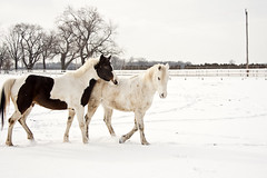 Jasper and a friend (Gordana AM) Tags: winter horses horse white snow ontario canada cold mill beauty outside outdoors energy open force farm space january cider windsor equestrian harrow elegance whiteness lepiafgeo