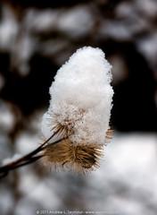 Snow Thistle (023)