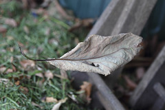 Leaf Suspended (Threthny) Tags: garden leaf backyard spiderweb floating cobweb suspended
