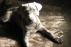 shadow & light (d_m_w) Tags: california light shadow dog pet animal silver puppy lab labrador january retriever labradorretriever carmelvalley nalu nui 16wks 4mos 2011 hinahina silverlab labpuppy january2011 notaweimaraner nalunuihinahina
