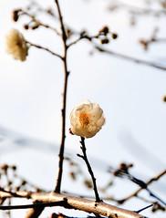 Plum  (MelindaChan ^..^) Tags: winter light sun white plant flower macro closeup branch bokeh plum petal mel stamen melinda macau    chanmelmel