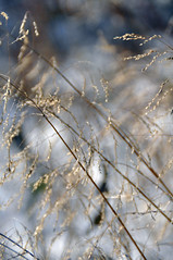 A Lone Reed Is Never Alone (Jacksonian22) Tags: blue schnee winter snow plant cold reed nature colors outside outdoors gold weeds nikon frost colore purple bokeh natur grain pflanze january blau lor janvier laplante laneige dehors neutral lhiver klte lanature getreide ried unkraut d90 purpurn neutre lebleu legrain flickraward goldenpalmaward leroseau frbt lefroid mygearandmepremium lagele leviolet lesmauvaisesherbes januardrausendrausen 1 jacksonian22