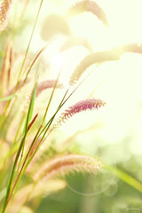 bng c lau (-clicking-) Tags: flowers wild texture nature floral grass garden design dof graphic natural blossom dream halo bloom dreamy lovely grassy clau thechallengefactory bngclau