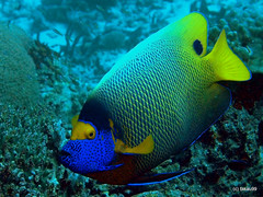 Yellowface angelfish, Maldives