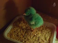 P1010194 (Hawra.M.S) Tags: chicken chick كتكوت اخضر فرخ