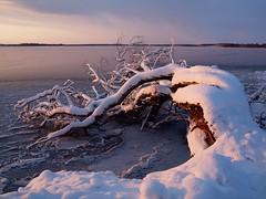 Sudden death (Axiraa) Tags: snow tree ice nature landscape lago see scenery meer europe estonia baltic lumi puu baum 4winter vesi baltics gmt estland talv jrv viro estonie htu loojang maastik valge   saadjrv tartumaa flickraward estremit o vanagram