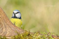 (Rawlways) Tags: bird hide peek paxarin herrerillocomún