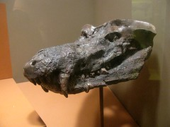 Cynodont (edenpictures) Tags: skeleton mammal fossil smithsonian display bones prehistoric museumofnaturalhistory extinct picnik fang synapsid