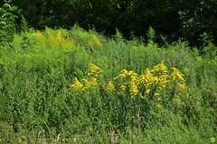 Goldenrod (petrOlly) Tags: europe europa poland polska polen lodz nature natura przyroda garden inthegarden summer flower flowers plants plant