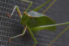 Katydid (brucetopher) Tags: katydid tettigoniidae green bug bigbug porchlight porchlightbug insect light screen door macro canon canon100mml big flyinginsect flier flyer carnivore wing wings delicate powerful