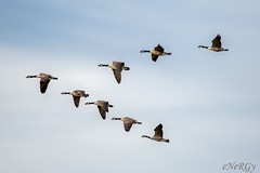 Geese (deltic17) Tags: geese goose bird flying wildlife nature sky migration rspb