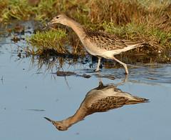 Ruff (Severnrover) Tags: ruff wader wading bird shore migration uk