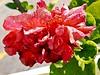 Hibiscus Rosa-Sinensis - Hibisco - Flora - Graal Estrela - Queluz-SP (Regis Silbar) Tags: regissilbar silbar regis hibiscusrosasenensis hibisco flora flor florvermelha queluz sp estadodesãopaulo