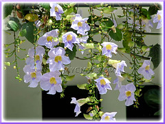 Lavender-blue flowers of Thunbergia laurifolia (Blue Trumpet Vine, Blue Sky Vine, Laurel-leaved Thunbergia, Laurel Clock Vine)