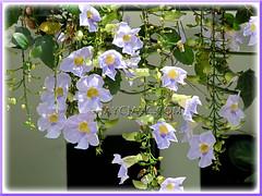 Lavender-blue flowers of Thunbergia laurifolia (Blue Trumpet Vine, Blue Sky Vine, Laurel-leaved Thunbergia, Laurel Clock Vine)