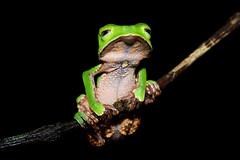 [フリー画像] 動物, 両生類, カエル, 201106151100