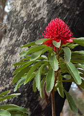 Du Faur's Rocks lookout, Mt Wilson (simone-walsh) Tags: flower nature bluemountains lookout bushwalking views wildflowers wilderness waratah nativeflower mtwilson dufaursrocks