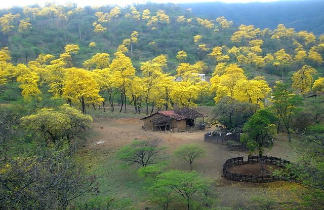 Guayacanes en época de floración, Mangahurco