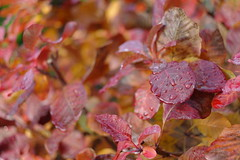 Test Shot Samsung NX100 (zen whisk) Tags: autumn red water lens leaf image samsung sample droplet 100 f2 pancake 30mm nx f20 nx100 samsung30mmf2