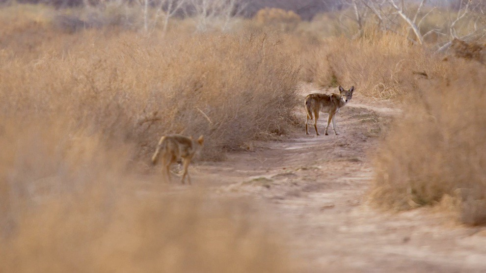 Wildlife: Coyotes at US-Mexico wall borderlands